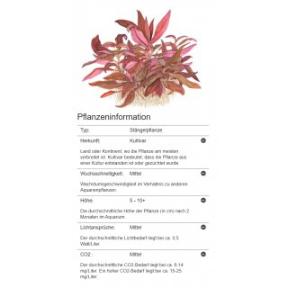 Alternanthera reineckii Mini - Mini Papageienblatt | In-Vitro