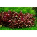 Alternanthera reineckii Mini - Mini Papageienblatt |...